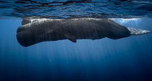 Sperm whale Royalty Free Stock Photography