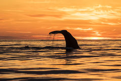 Sperm whale during midsummer night. A sperm whale diving near Andenes Norway during a midsummer night Royalty Free Stock Images
