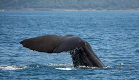 Sperm whale near Kaikoura (New Zealand) Stock Photos