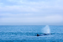 Sperm Whale, New Zealand Stock Photo