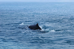 Sperm Whale, New Zealand Stock Images