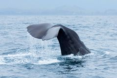 Sperm whale Physeter macrocephalus tail fluke above water during dive in Kaikoura, New Zealand. stock photography