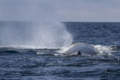 Sperm whale produces a fountain of water before diving in the Pa Stock Photos