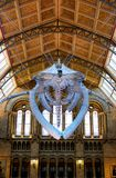 Sperm whale skeleton in Natural History Museum in London royalty free stock photography