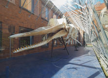 Sperm whale skeleton in Luebeck Royalty Free Stock Images