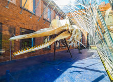 Sperm whale skeleton in Luebeck hdr Royalty Free Stock Images