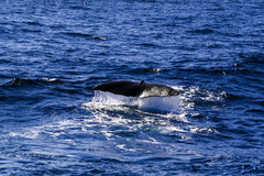Sperm whale tail before dive Royalty Free Stock Photography