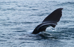 Sperm whale tail fin Stock Photography
