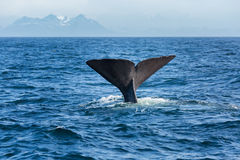 The sperm whale tail in the ocean. Norway royalty free stock images