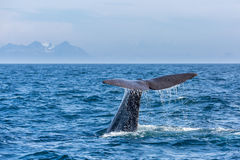 The sperm whale tail with water spray in the ocean Royalty Free Stock Image