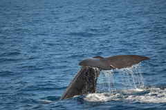 Sperm Whale tale, Kaikoura, New Zealand Royalty Free Stock Photos