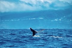 Sperm whale under cloudy skies. A sperm whale dives on a cloudy day in the Azores, showing its tail flukes royalty free stock photos