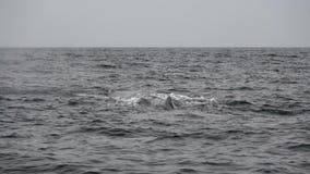 Sperm whale. Video footage of Sperm whale in Okhotsk Sea stock video