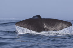 Sperm whale which raised tail before diving into ocean Stock Photo