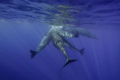 Sperm Whales Underwater Stock Images