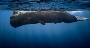 Sperma wieloryb Fotografia Royalty Free