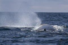 Sperma wieloryb produkuje fontannę woda przed nurkować w Pa Zdjęcia Stock