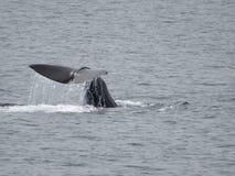 Sperma wieloryba ogon obrazy stock