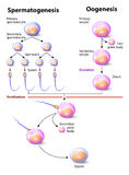 Spermatogenesis and Oogenesis Royalty Free Stock Photos