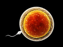 Spermatozoon, floating to ovule Stock Photography