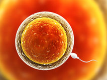 Spermatozoon, floating to ovule Stock Photos