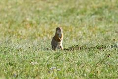 Spermophilus Royalty Free Stock Images