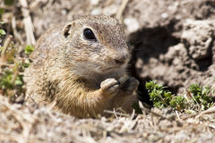 Spermophilus citellus Stock Photo