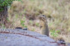 Spermophilus or Citellus Royalty Free Stock Images