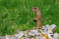 European ground squirrel Stock Photo