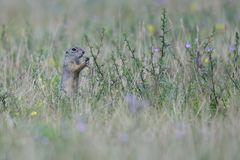 Spermophilus or Citellus on a meadow. Looking for food Royalty Free Stock Images