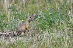 Spermophilus or Citellus on a meadow. Looking for food Stock Photos
