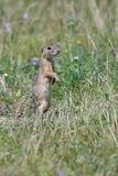 Spermophilus or Citellus on a meadow. Looking for food Stock Images