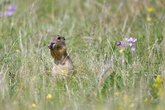 Spermophilus or Citellus on a meadow. Looking for food Stock Image