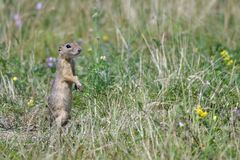 Spermophilus or Citellus on a meadow. Looking for food Royalty Free Stock Image