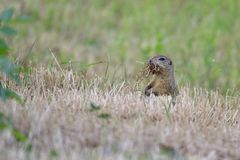 Spermophilus or Citellus on a meadow. Looking for food Stock Photo