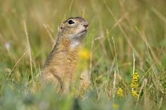 Spermophilus or Citellus. In Czech Republic Royalty Free Stock Images