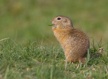 Spermophilus citellus. Was filmed in its natural environment Royalty Free Stock Image