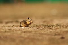 Spermophilus citellus. Wild nature of Czech. The animal on the meadow. In the grass. Beautiful nature. Free nature. The wilderness of Europe Royalty Free Stock Photography