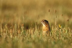 Spermophilus citellus. Wild nature of Czech. The animal on the meadow. In the grass. Beautiful nature. Free nature. The wilderness of Europe Royalty Free Stock Photos