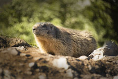 Spermophilus citellus Royalty Free Stock Photos