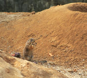 Spermophilus Royalty Free Stock Image