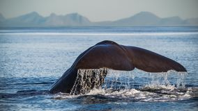 Spermwhale diving down. In front of Andenes Royalty Free Stock Image