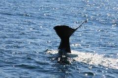 Spermwhale do mergulho Imagem de Stock