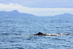 Spermwhale near norwegian coastline Royalty Free Stock Photos