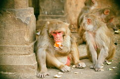 Spesiosa del Macaca in indiya Fotografie Stock Libere da Diritti