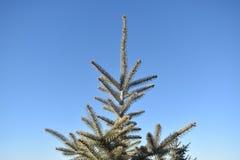 Spetsöverkanten av en blå gran sörjer trädet mot en bakgrund för blå himmel arkivbilder