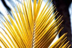 Spetsen av en guling gömma i handflatan ormbunksbladet i ljus guling Fotografering för Bildbyråer