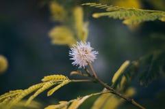 Spetsig blommande vit blomma arkivfoton