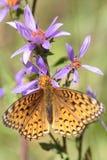 Speyeria butterfly, Yellowstone National Park. Royalty Free Stock Photography
