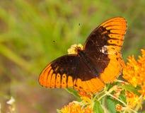 Speyeria diana, borboleta de Diana Imagens de Stock Royalty Free